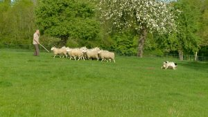 Online herding tutorial with Archie the sheepdog