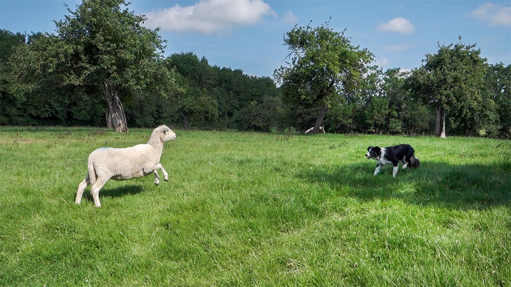 Sheep challenging a herding dog