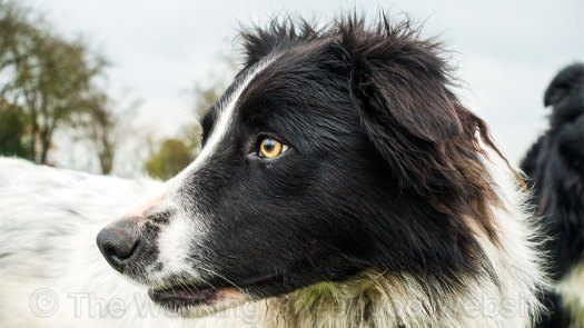 trainee border collie sheepdog Isla