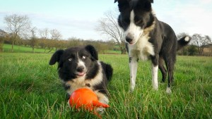 Two Border Collie Sheepdogs dispute ownership of a squeaky toy.