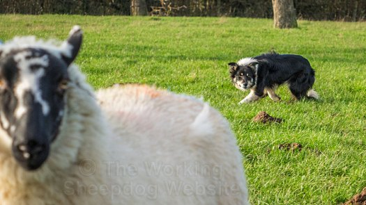Bronwen keeping the sheep under control during her training