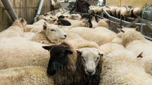 These sheep are awaiting their pregnancy scans