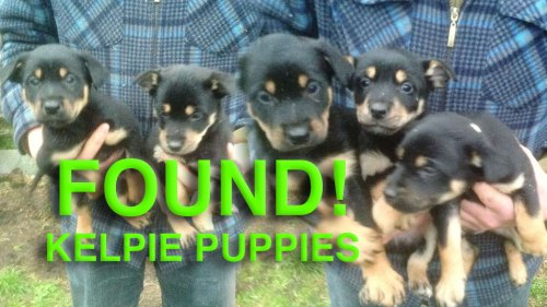 The puppies stolen yesterday from Shropshire are on their way home