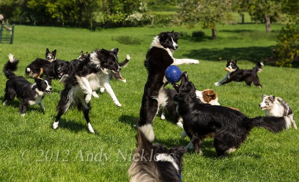 Black and white and red and white border collie dogs playing with a ball