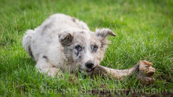 Blue merle border collie sheep dog puppy