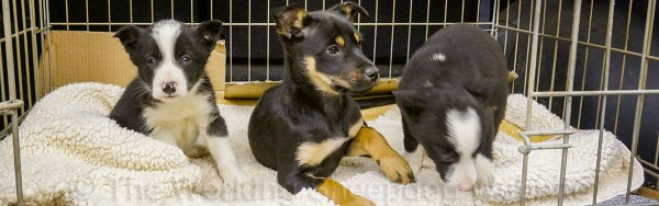 Sheepdog puppies, two border collies and a kelpie