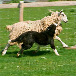 Sheepdog attacking a sheep