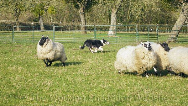 A group of sheep splitting to avoid the dog