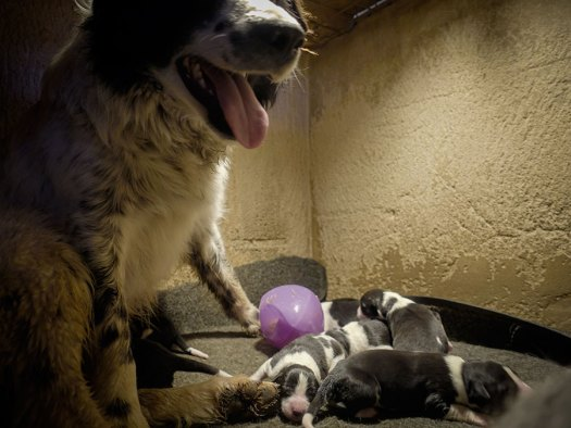 Border collie with puppies and a large squeaky toy