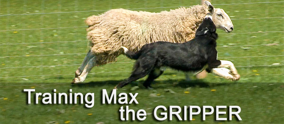 Max the sheepdog gripping (attacking) a sheep