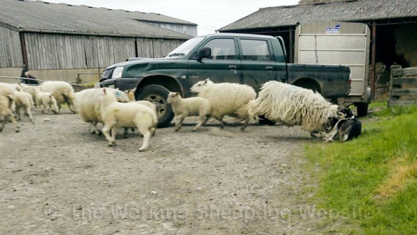 Sheepdog Bronwen being knocked down by an aggressive ewe