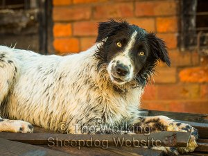 Mainly white Border collie female
