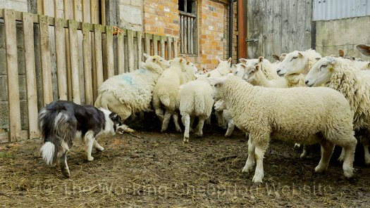 Bronwen was cautiously confident and the sheep usually showed respect for her