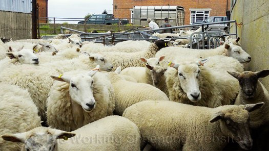 Sheep in a handling yard