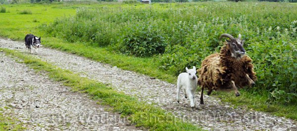 The Jacob ewe prances in anger alongside its lamb while Kay follows on behind