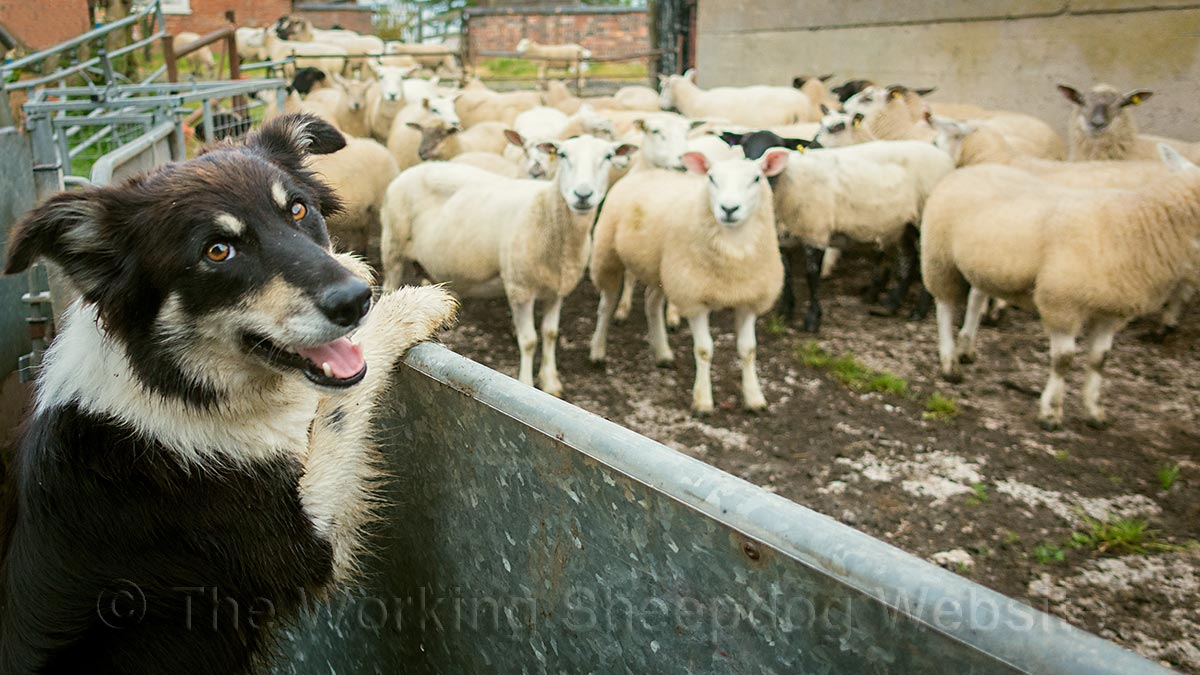 Herding sheepdog Bronwen looks over the side of the pen at the sheep