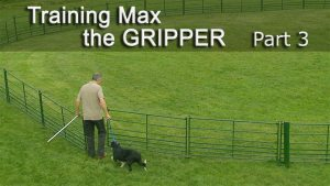 Training a dog which is aggressive with sheep