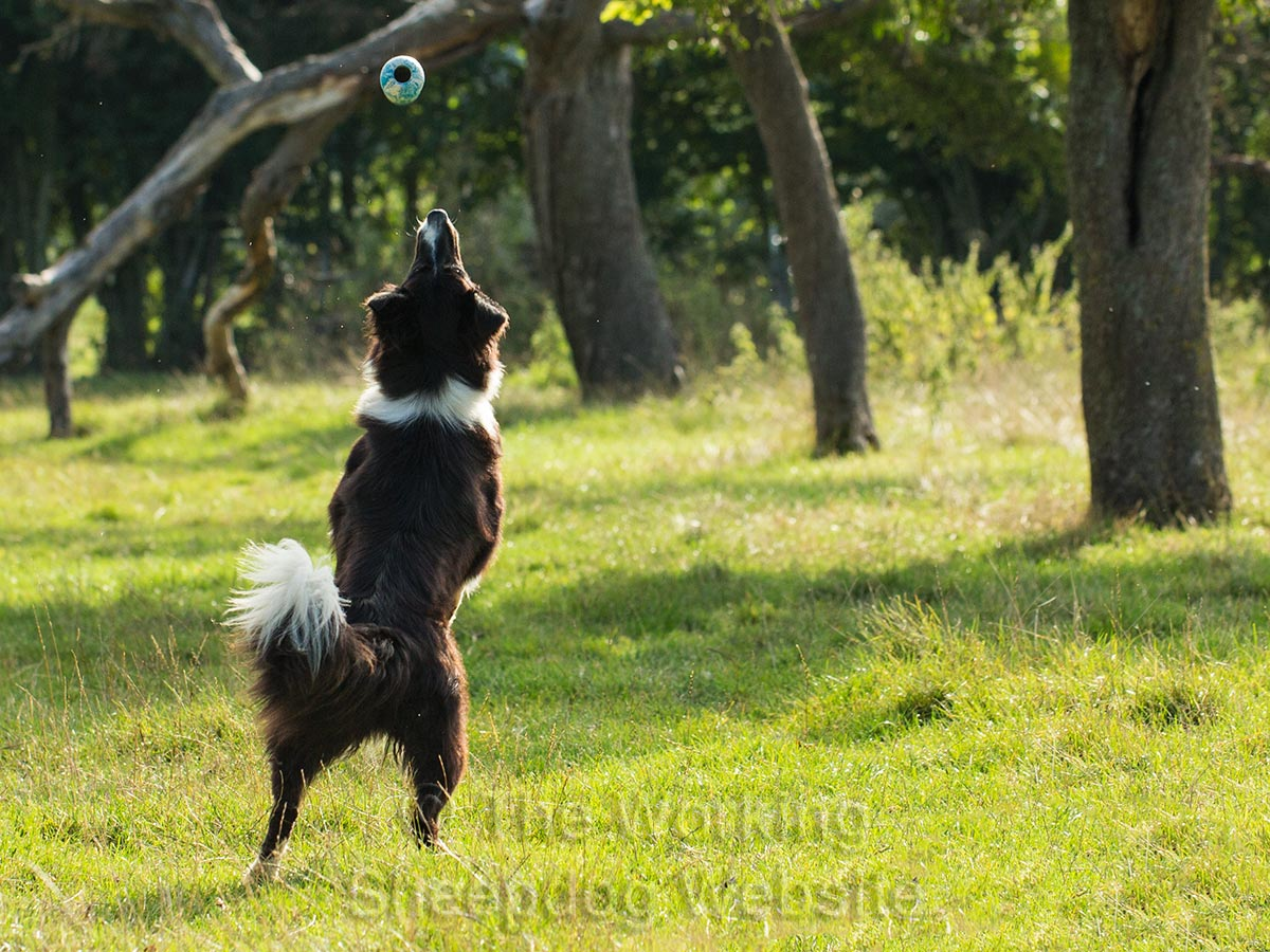 Border Collie Scylla jumps to catch a falling Kong
