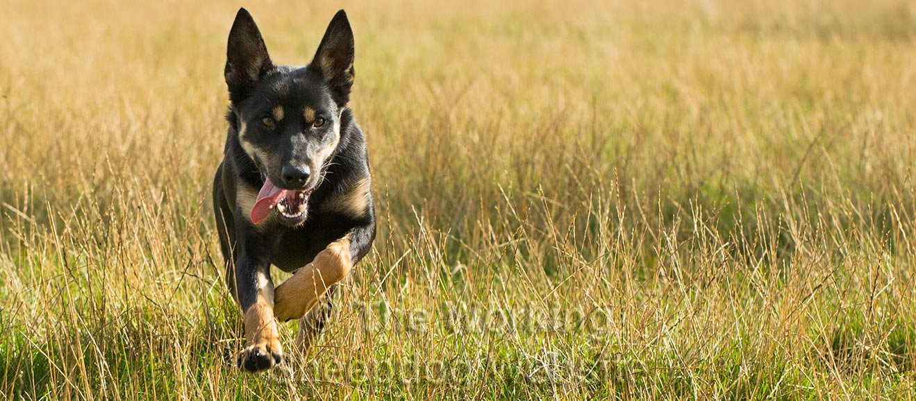 Dramatic photo of a Kelpie Sheep and Cattle dog running towards the camera