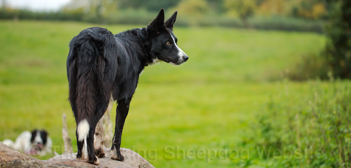 Jet's a smooth coated prick-eared border collie sheepdog