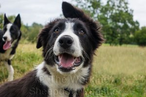 Close-up of a young border collie with one ear up and the other down