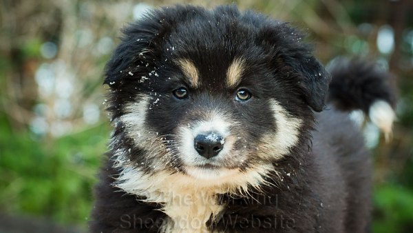 A close-up photo of Mew - a very fluffy tri-colour border collie sheepdog puppy, with frost on her face.