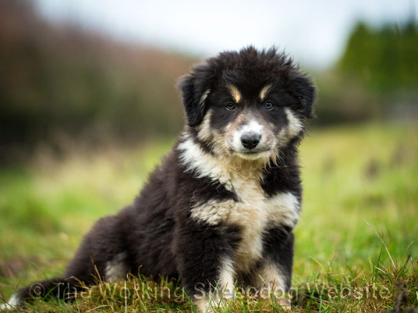 Rough coated tri colour border collie aged three months