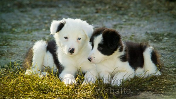 Close up photo of two border collie puppies lying together. One has a white face and one of its eyes is blue