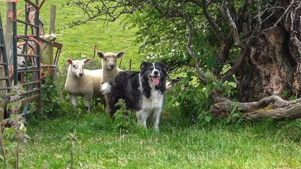 Photo of herding sheepdog Mo looking towards the camera. Behind her are two lambs.
