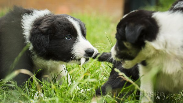Young collie puppies playing together