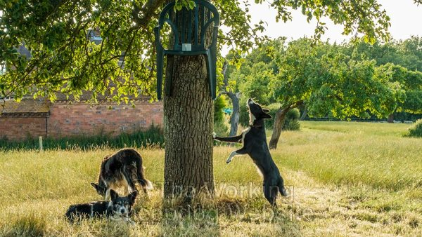 Border collie sheepdogs under a tree. One of the dogs is looking up at a chair suspended from the trunk of the tree