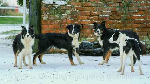 Four Border Collie Sheepdogs in a snow covered yard