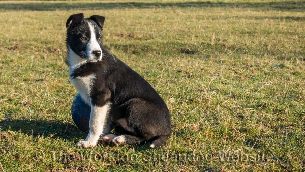 Smooth coated border collie puppy Phiz