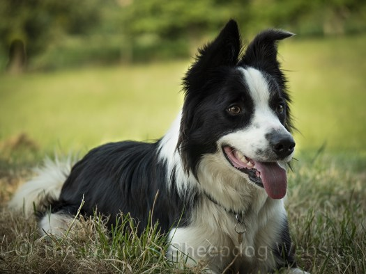 Rough coated sheepdog Roy, working dog and family pet.