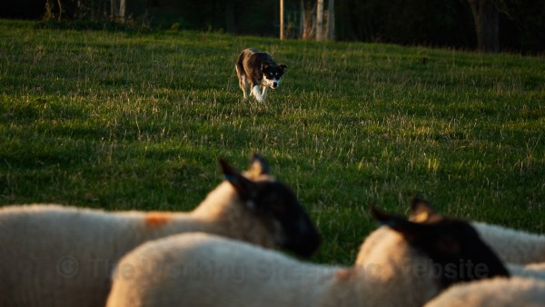Dulcie showing patience when walking up on some sheep