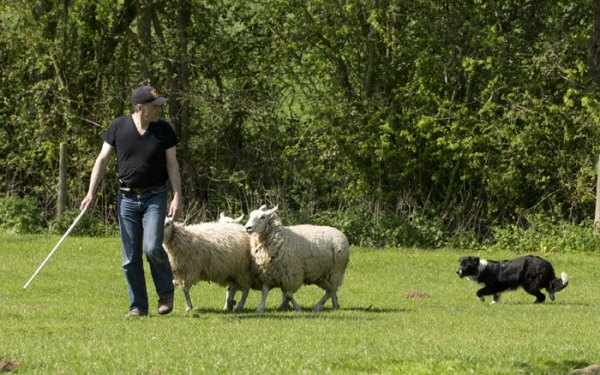 Training with a young collie and a few sheep