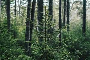 pine trees jpeg