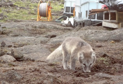 arctic fox funi