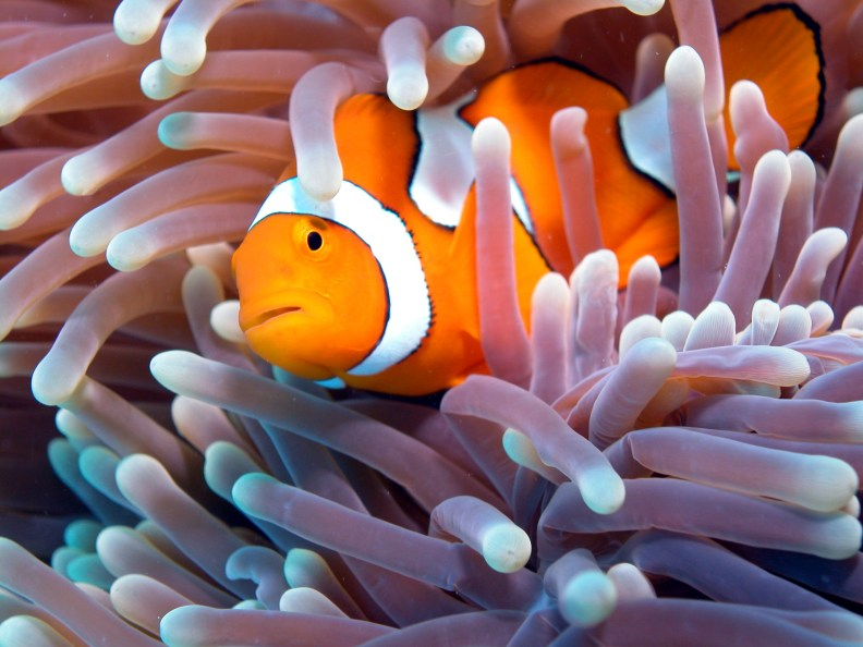 Happy Clownfish. Photo purchased from In-Depth Video & Photography