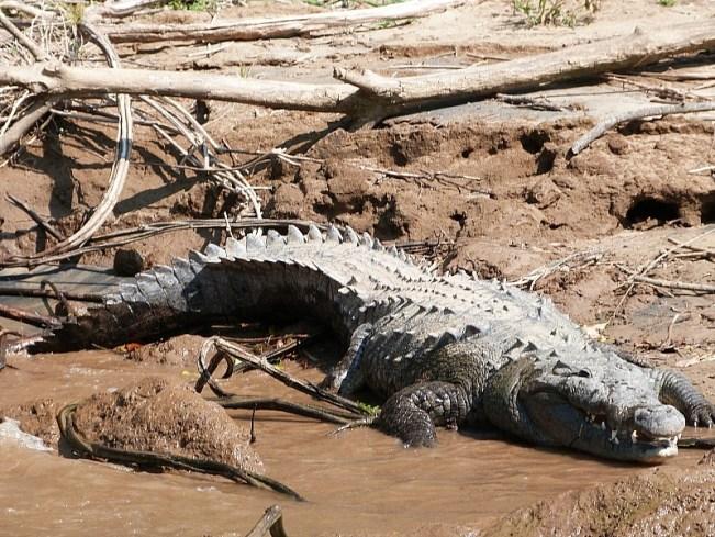 Crocodile in the Canon de Suminero, Chiapas, Mexico