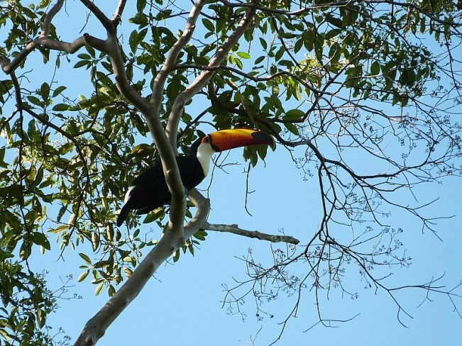 Toucan in the Amazon Basin of Bolivia