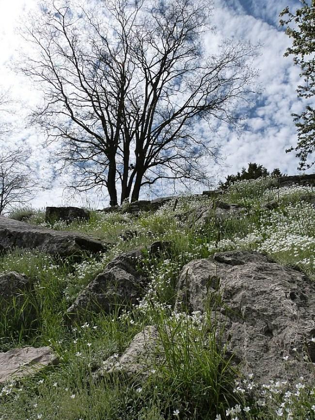 Spring flowers in Tobermory, Ontario