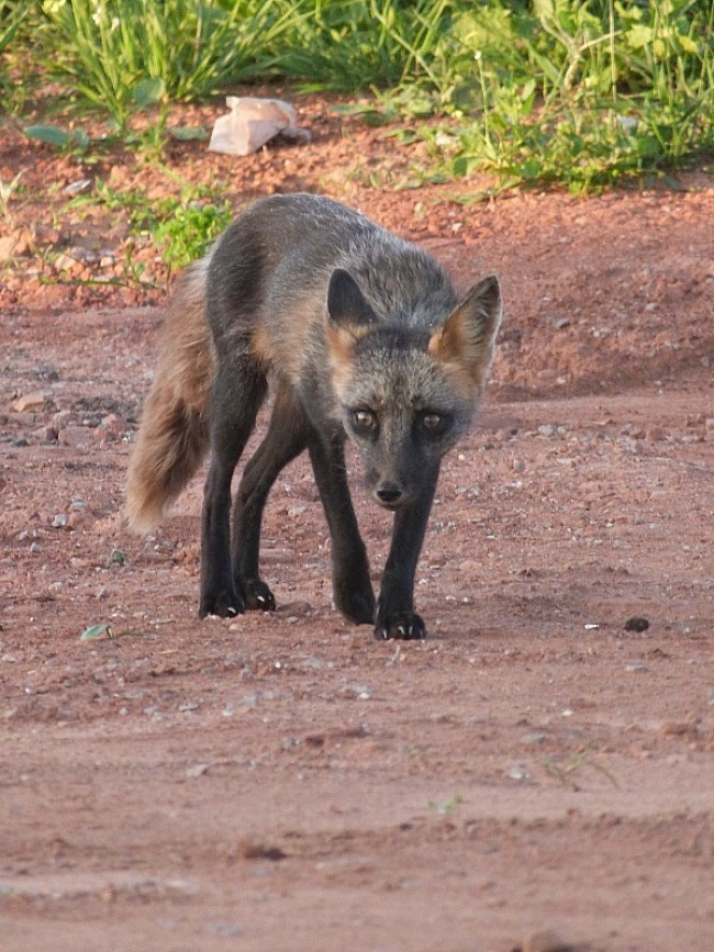 Mixed breed silver/red fox on PEI