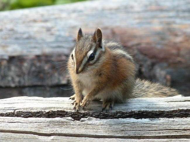 A cheeky chipmunk on the Crypt Lake Hike in Waterton Lakes National Park, Canada