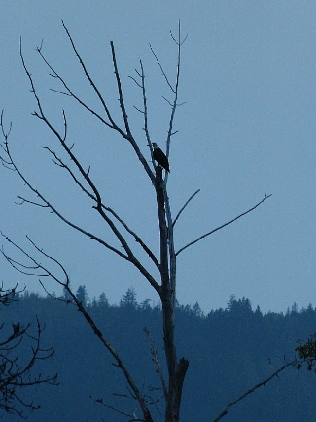 Bald Eagle at Shuswap Lake in British Columbia, Canada
