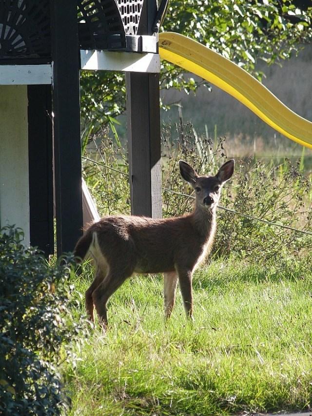 Wild deer on Denman Island in Canada