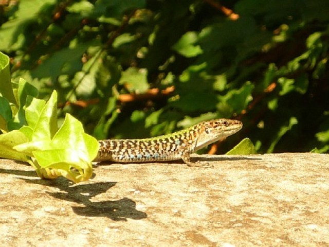Lizard on a hiking trail above Amalfi in Italy