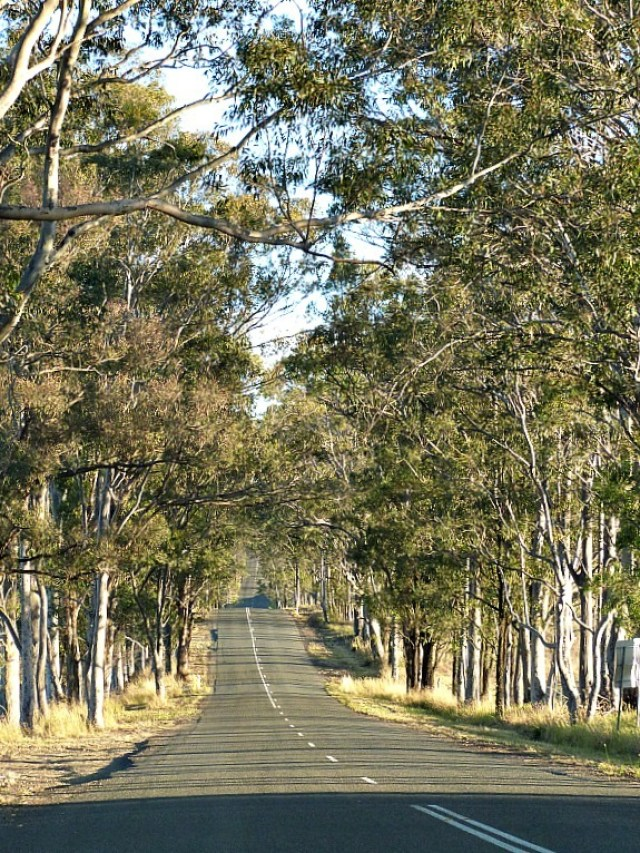 Gum tree lined road in the Hunter Valley