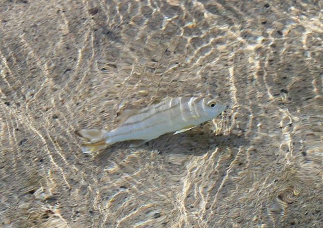 Little fish right by the shore on Barefoot Island in Fiji
