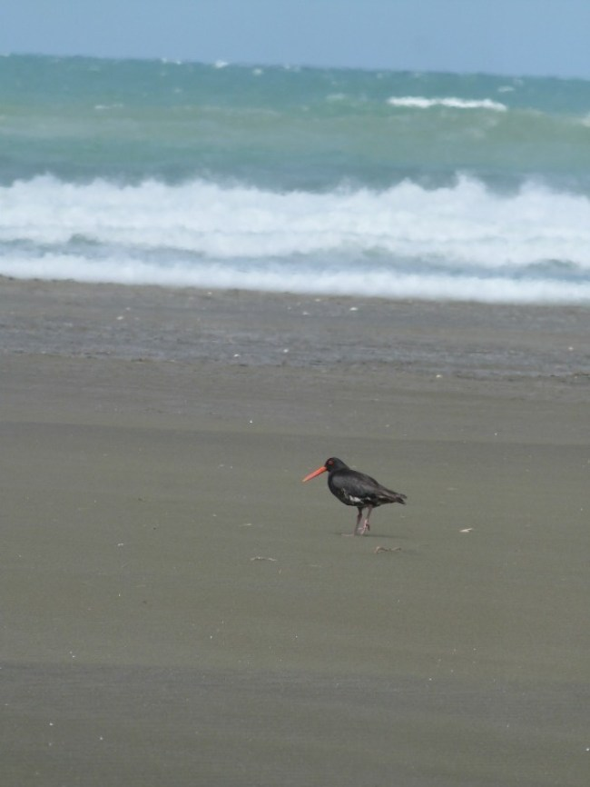 Wild West Coast beaches on the Hillary Trail in Auckland